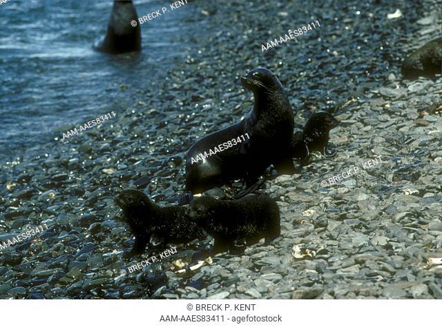 Antarctic Fur Seals (Arctocephalus gazella), Antarctica