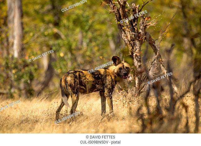 African Wild Dog (Lycaon pictus), Mana Pools, Zimbabwe