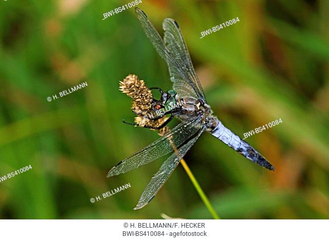 black-tailed skimmer (Orthetrum cancellatum), male at a stem, Germany