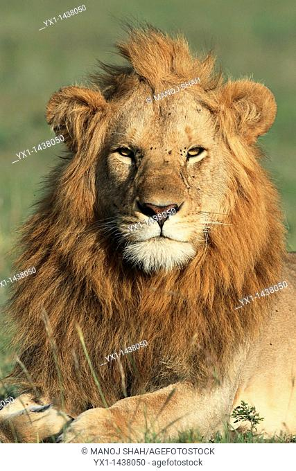 It is late afternoon and the male lion has woken up, Masai Mara National Reserve, Kenya