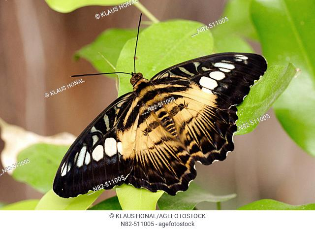 Clipper Butterfly (Parthenos sylvia brown) on leaf