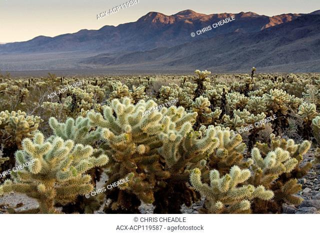jumping cholla cactus, Opuntia fulgida, Cholla Cactus Garden, Joshua Tree National Park, California, USA
