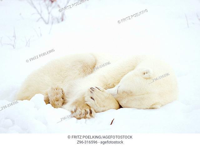 Polar Bear (Ursus maritimus). Hudson Bay, Canada