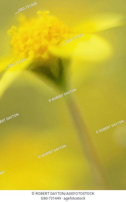 Goldfields (Lasthenia californica) is a wildflower found in California, USA