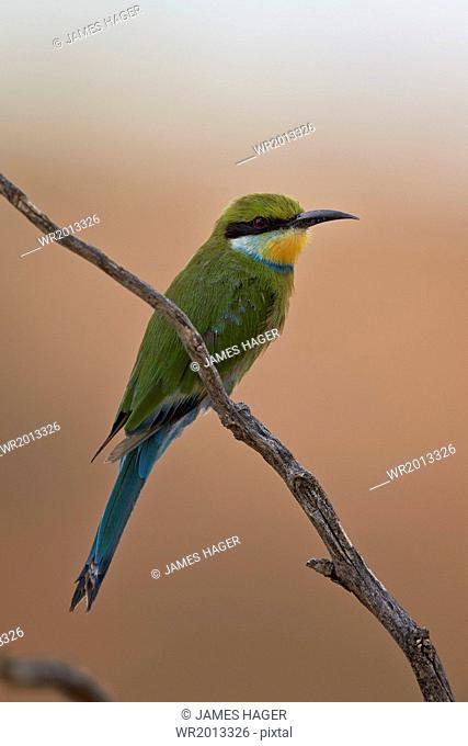 Swallow-tailed bee-eater (Merops hirundineus), Kgalagadi Transfrontier Park encompassing the former Kalahari Gemsbok National Park, South Africa, Africa