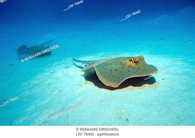 Bluespotted ribbontail ray, Taeniura lymma, Egypt, Africa, Marsa Alam, Red Sea