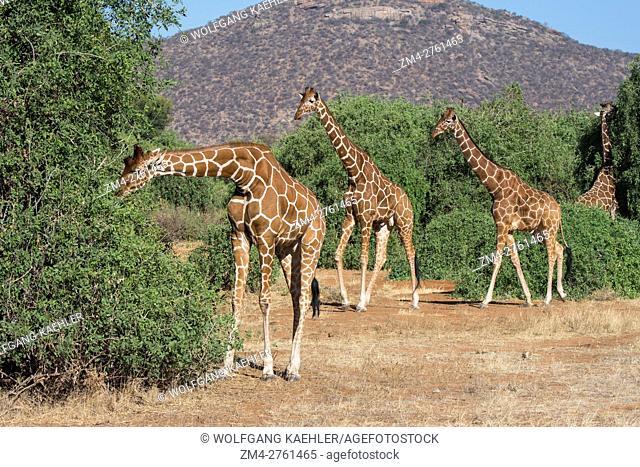 Reticulated giraffes (Giraffa reticulata) are browsing on a tree in Samburu National Reserve in Kenya