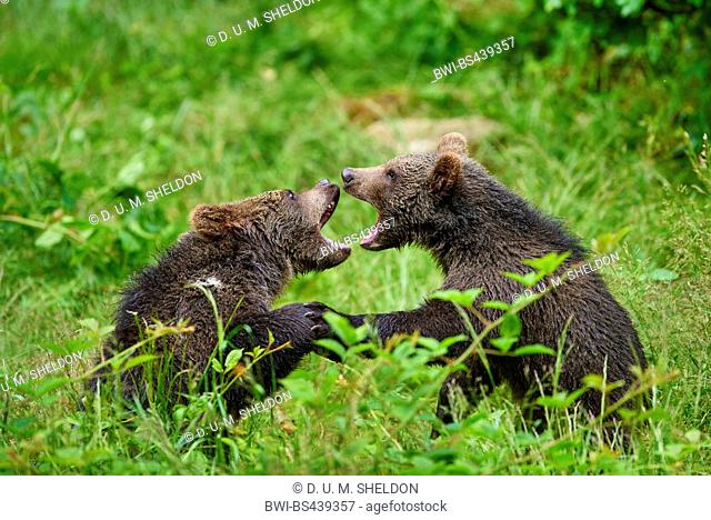 European brown bear (Ursus arctos arctos), two pups romping in a clearing, Germany, Bavaria, Bavarian Forest National Park