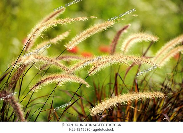 Purple Fountain Grass Pennisetum setaceum 'Rubrum'