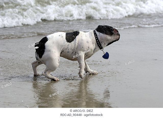 French Bulldog shaking himself