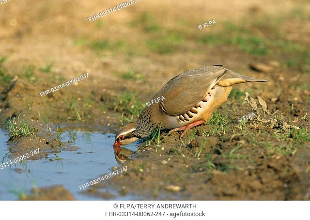 Red-legged Partridge Alectaris rufa Drinking - Breckland, Norfolk, England