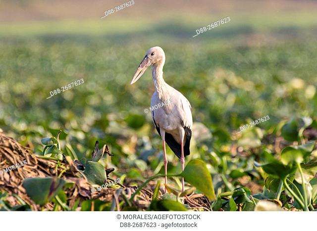South east Asia, India,Assam state,Brahmapoutra,Asian Openbill or Asian Openbill Stork (Anastomus oscitans)