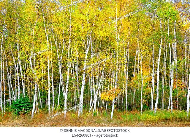 Birch trees with yellow fall color