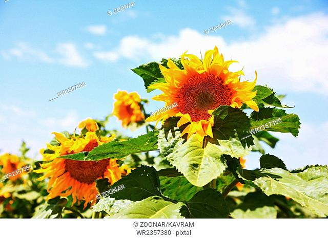 Two large bright yellow sunflower head