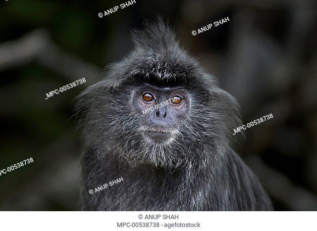 Silvered Leaf Monkey (Trachypithecus cristatus) sub-adult male, Bako National Park, Sarawak, Borneo, Malaysia