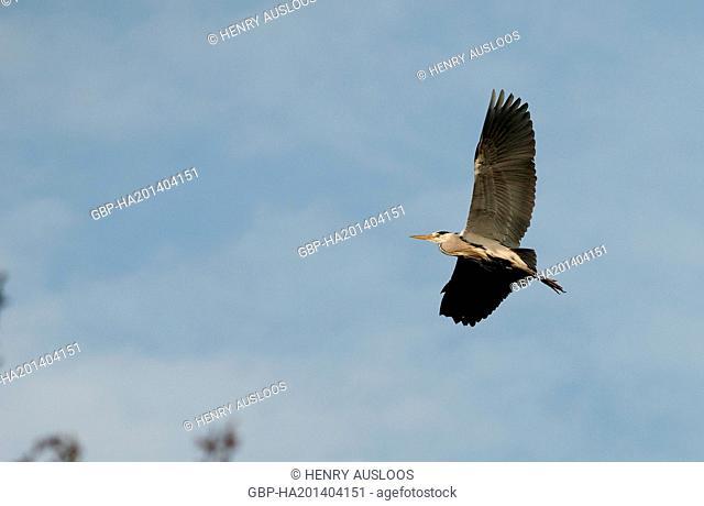 Grey Heron, Ardea cinerea, flying, 31/03/2009