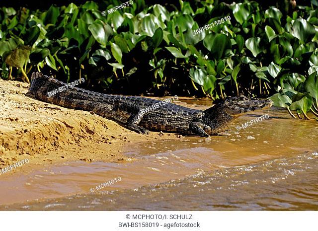spectacled caiman (Caiman crocodilus), lying at riverside, Brazil, Pantanal