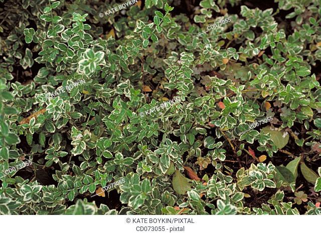 Wintercreeper (Euonymus fortuney)