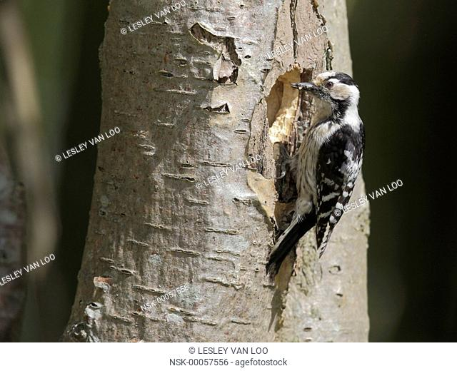 Lesser Spotted Woodpecker (Dendrocopos minor) with insects near nesthole, The Netherlands, Noord Holland