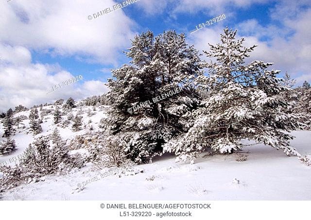 Snow covered Pines (Pinus sylvestris) in Rincón de Ademuz. Comunidad Valenciana. Spain