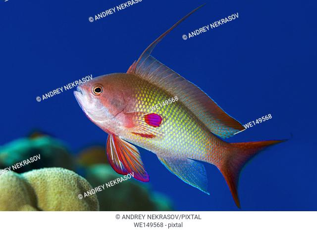 Male sea goldie, lyretail coralfish, lyretail anthias or scalefin anthias (Pseudanthias squamipinnis) on the background of blue water, Red sea, Sharm El Sheikh