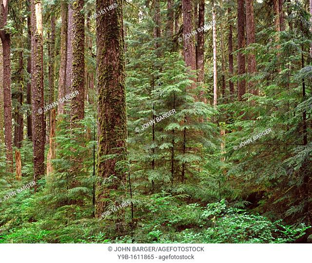 Ancient forest of western hemlock and Sitka spruce, Sol Duc Valley, Olympic National Park, Washington, USA