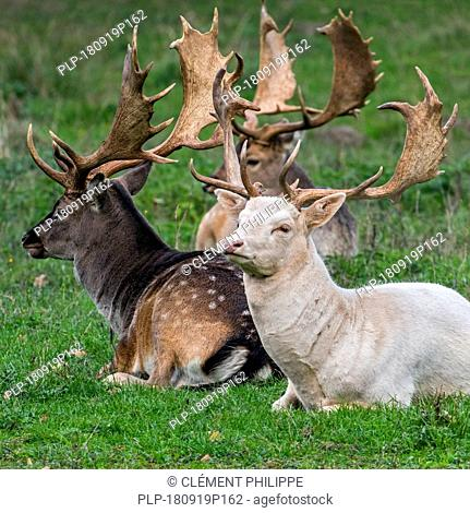 Fallow deer (Dama dama) bucks / males with large antlers resting in meadow showing common darker colouring of winter coat and leucistic white variant