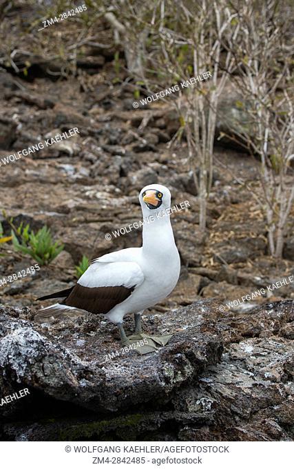 A Nazca booby (Sula granti) sitting on a rock on Genovesa Island (Tower Island) in the Galapagos Islands, Ecuador
