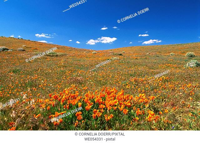 Wild flower meadow with California poppies. Antelope Valley, California, USA
