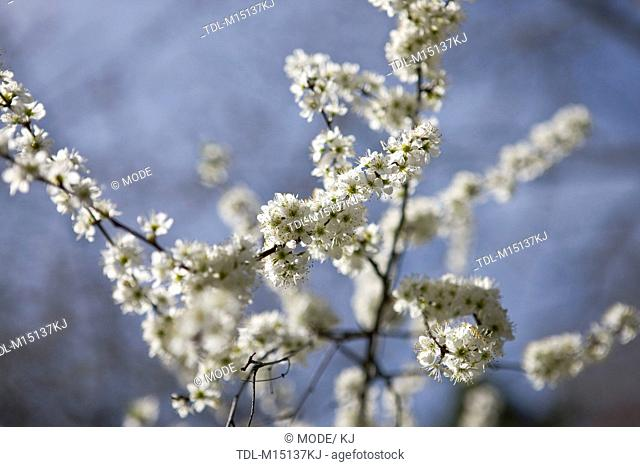 Tree branches with white blossom