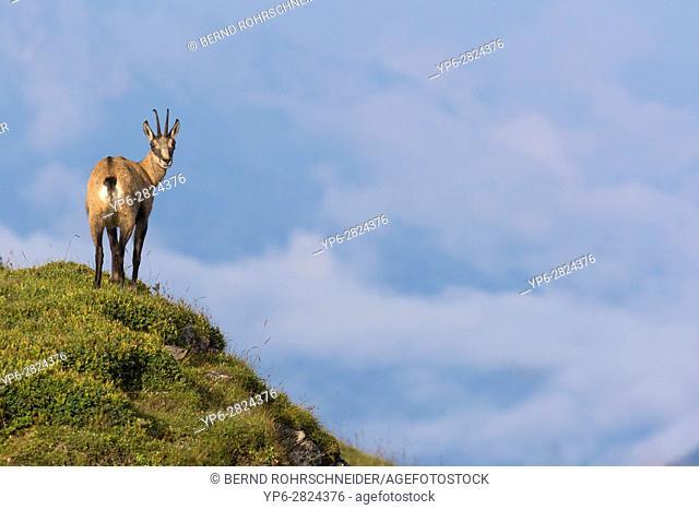 Chamois (Rupicapra rupicapra), adult standing on slope, Niederhorn, Bernese Oberland, Switzerland