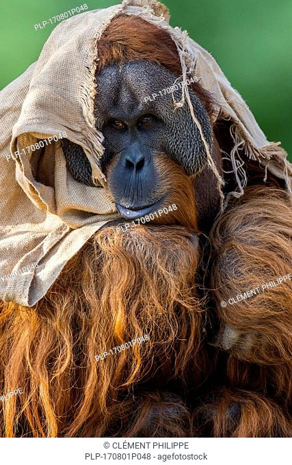 Sumatran orangutan / orang-utang (Pongo abelii) male wrapped in cloth in zoo showing large cheek flaps, native to Sumatra