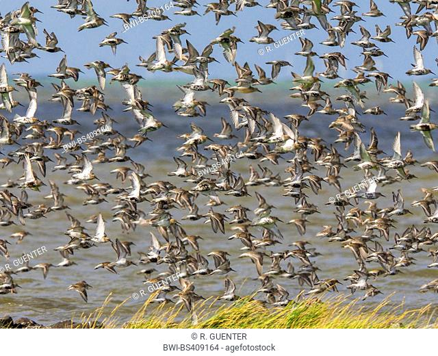 dunlin (Calidris alpina), Flock of birds with dunlins, red knots and grey plover, Germany, Schleswig-Holstein, Schleswig-Holstein Wadden Sea National Park