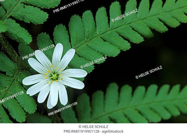 Greater Stitchwort, and, Bracken Fern , Stellaria holostea, Pteridium aquilium
