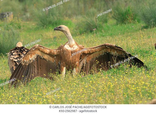 Griffon vulture (Gyps fulvus), Monfrague National Park, Extremadura, Spain