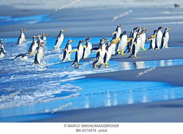 Gentoo penguins (Pygoscelis papua papua) getting out of the water, Sea Lion Island, Falkland Islands, South Atlantic