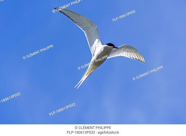 Arctic tern (Sterna paradisaea) in flight against blue sky, Scotland, UK