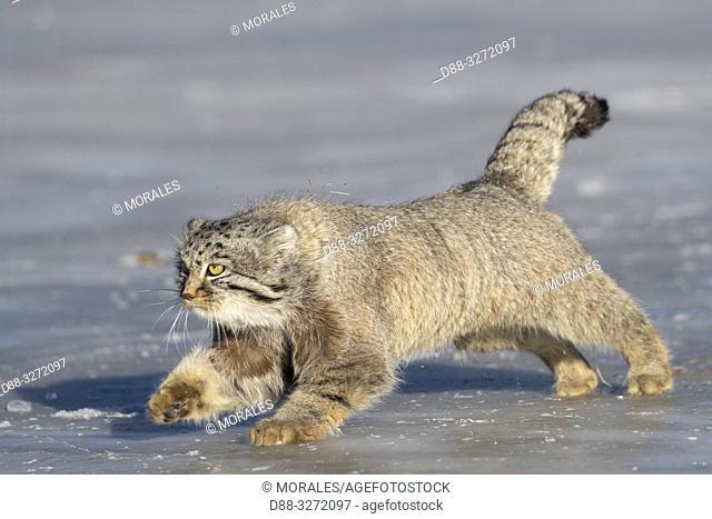Asie, Mongolie, Est de la Mongolie, Steppe, Chat de Pallas Otocolobus manul), se déplace en courant / Asia, Mongolia, East Mongolia, Steppe area