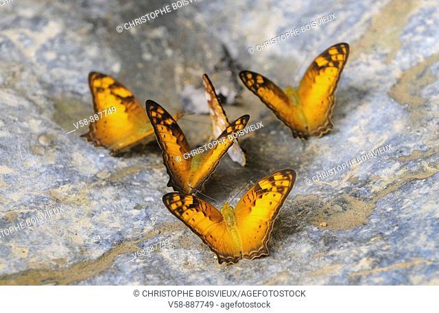 Wild butterflies,Tham Khang caves, Muang Ngoi region, Luang Prabang province, Laos