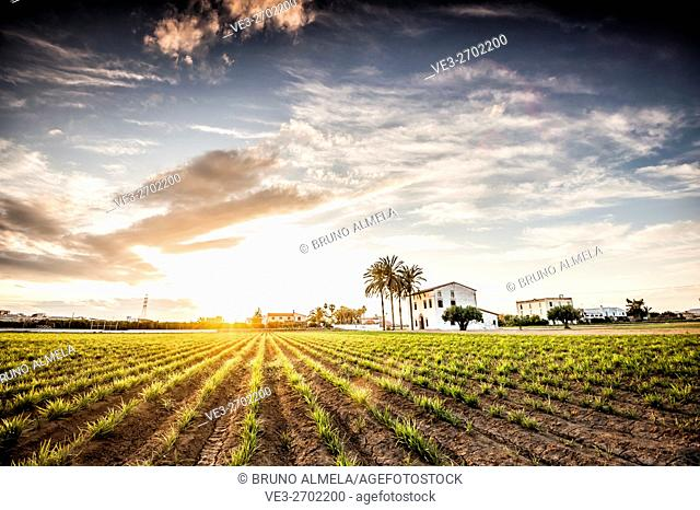 Sunset over a tiger nut field with an Alqueria near Almassera (province of Valencia, Valencian Community, Spain). Alqueria is a traditional house of l'Horta...