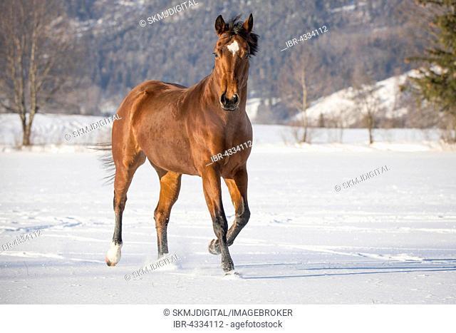Brown Quarter Horse mare in snow, Lower Austria