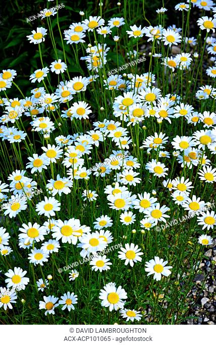 Close up of Daisies in Kelowna, British Columbia, Canada