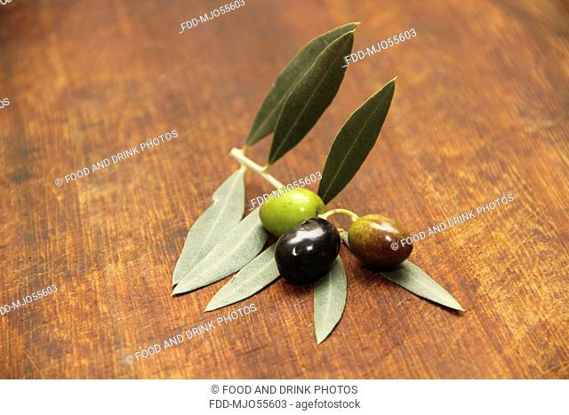 Green, black and mixed Olive, freshly picked from the tree with Olive branch