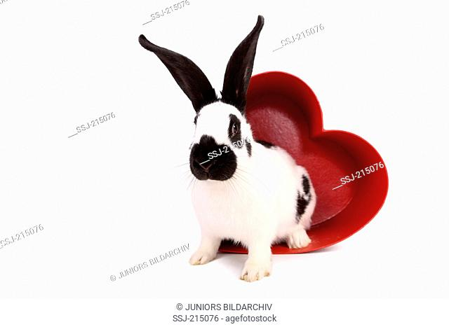 German Giant Rabbit in a red heart made of cardboard. Studio picture against a white background. Germany