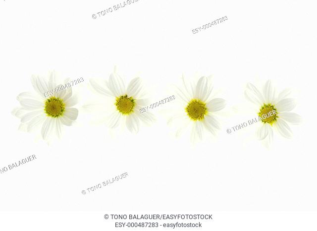 Four white daisy flower isolated on white background