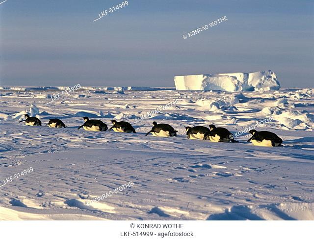 Emperor Penguins tobboganing on ice, Aptenodytes forsteri, iceshelf, Weddell Sea, Antarctica