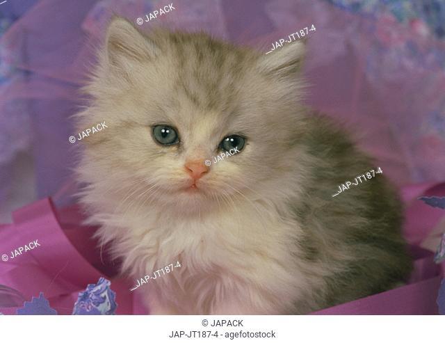 Persian-chinchilla