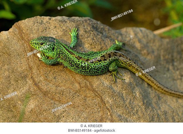 sand lizard (Lacerta agilis), sunbathing, Germany, Rhineland-Palatinate