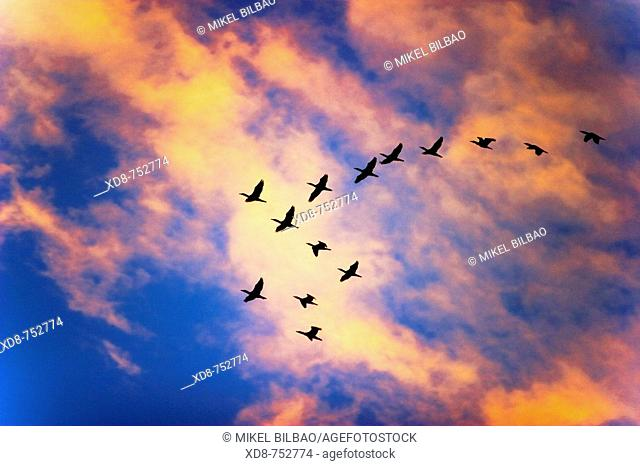 European Shag or Common Shag (Phalacrocorax aristotelis) flock at sunset, Santoña marshes Natural Reserve, Santoña, Cantabria, Spain, Europe