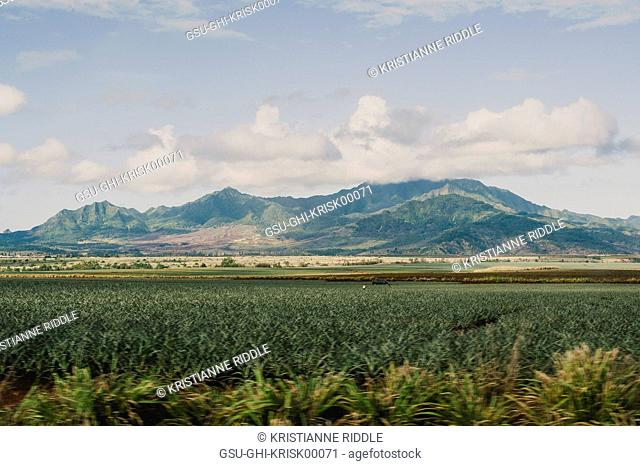 Pineapple Field with Mountains in Background, Oahu, Hawaii, USA